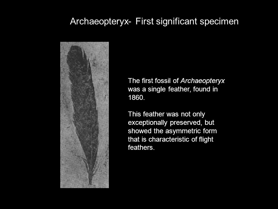 The first fossil of Archaeopteryx was a single feather, found in 1860. This feather was not only exceptionally preserved, but showed the asymmetric fo