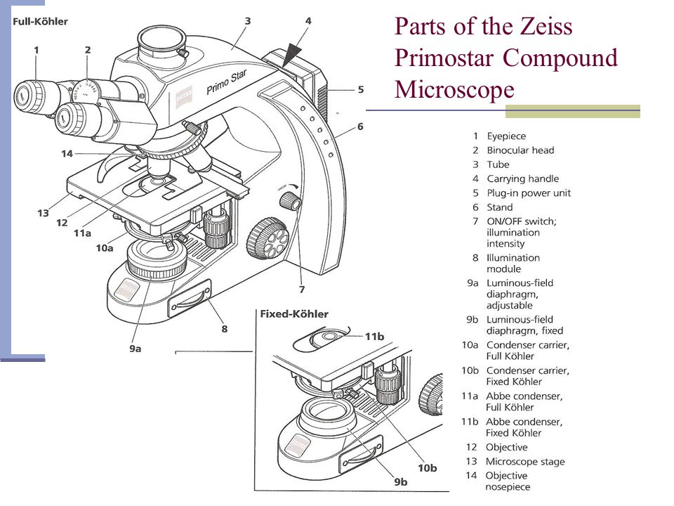 Using the Microscope Scan the specimen (notice direction each mechanical stage knob moves stage and compare to viewed specimen…it will be opposite direction) using lowest power objective first.
