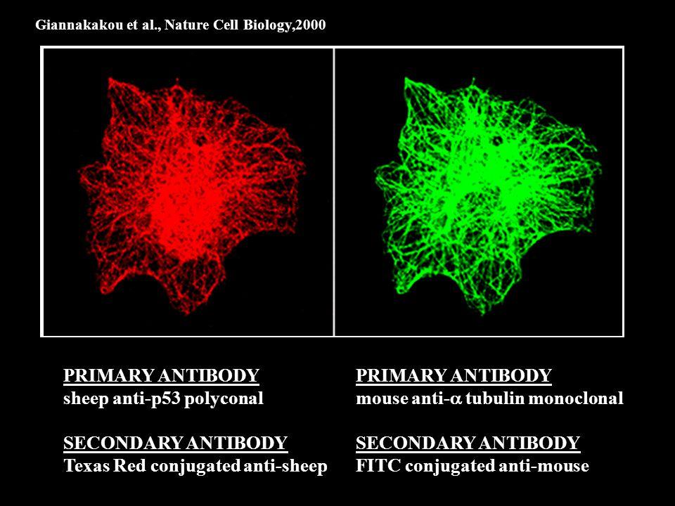 Giannakakou et al., Nature Cell Biology,2000 PRIMARY ANTIBODY sheep anti-p53 polyconal SECONDARY ANTIBODY Texas Red conjugated anti-sheep PRIMARY ANTIBODY mouse anti-  tubulin monoclonal SECONDARY ANTIBODY FITC conjugated anti-mouse