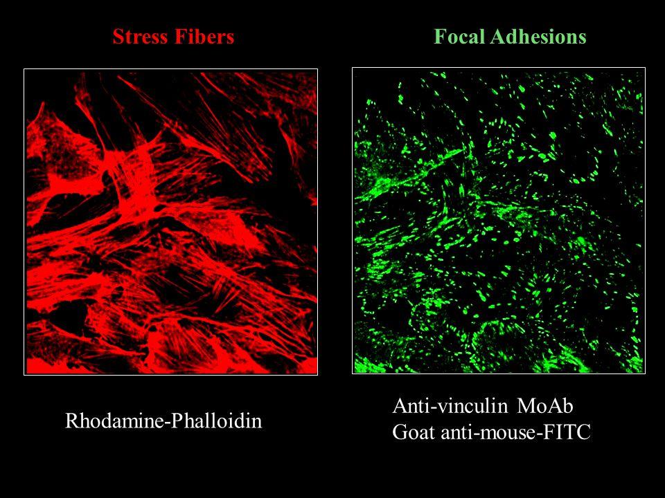 Anti-vinculin MoAb Goat anti-mouse-FITC Rhodamine-Phalloidin Stress FibersFocal Adhesions