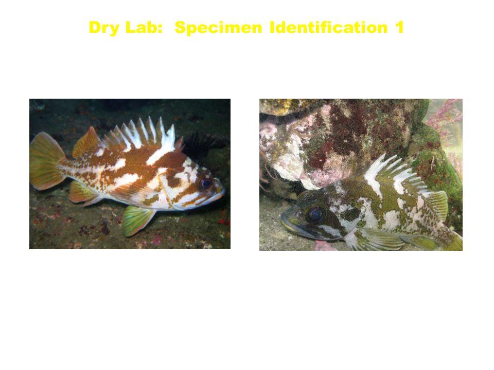 Copper S. caurinus Gopher S. carnatus Dry Lab: Specimen Identification 1