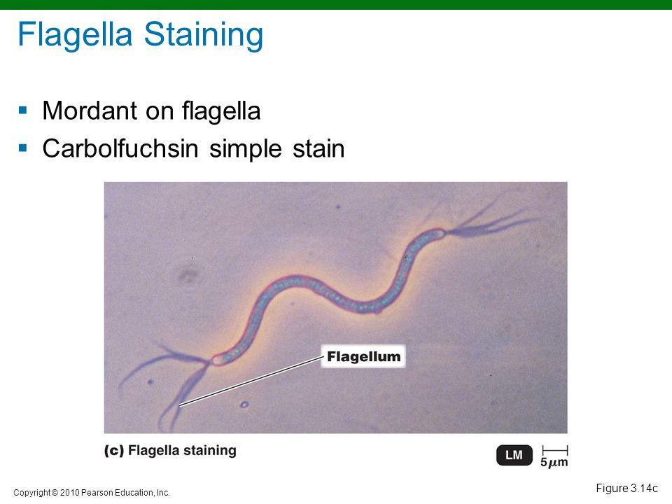 Copyright © 2010 Pearson Education, Inc. Figure 3.14c Flagella Staining  Mordant on flagella  Carbolfuchsin simple stain
