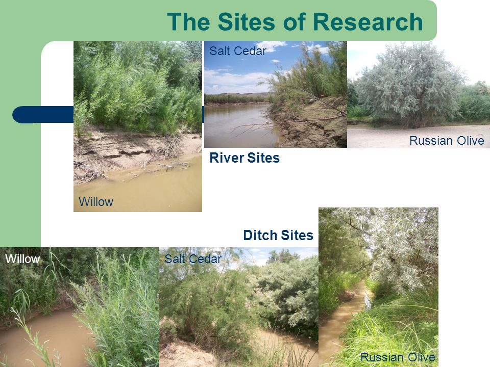 The Sites of Research River Sites Ditch Sites Willow Salt Cedar Russian Olive WillowSalt Cedar Russian Olive