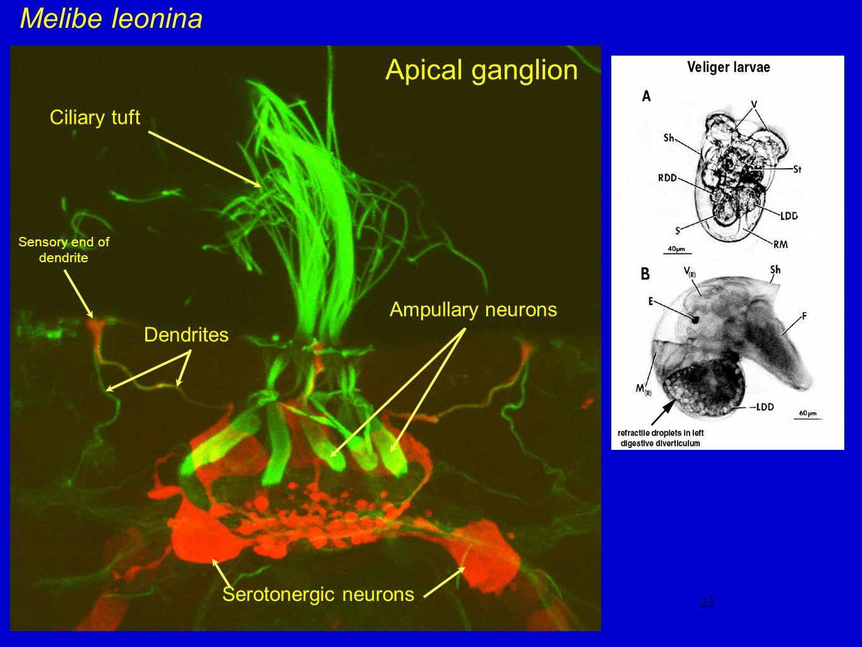 23 Melibe leonina Apical ganglion Ampullary neurons Serotonergic neurons Dendrites Ciliary tuft Sensory end of dendrite