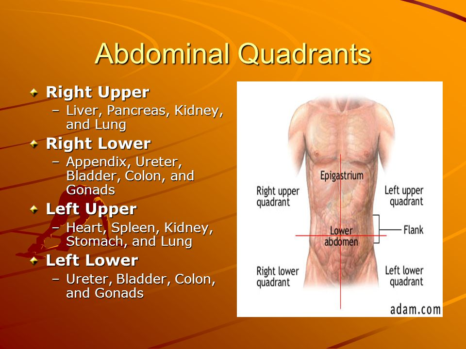 Abdominal Quadrants Right Upper –Liver, Pancreas, Kidney, and Lung Right Lower –Appendix, Ureter, Bladder, Colon, and Gonads Left Upper –Heart, Spleen, Kidney, Stomach, and Lung Left Lower –Ureter, Bladder, Colon, and Gonads
