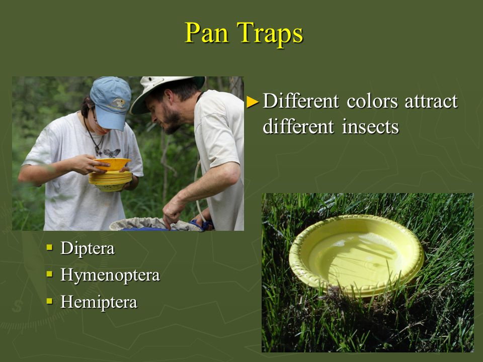 Pan Traps ► Different colors attract different insects ► Passive Collecting  Diptera  Hymenoptera  Hemiptera