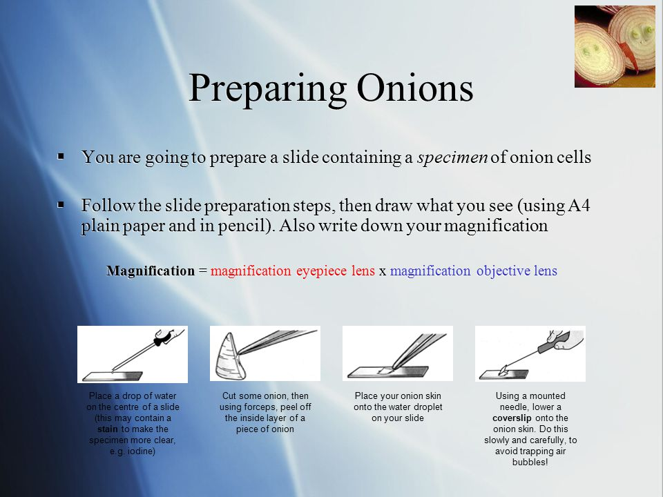 Preparing Onions  You are going to prepare a slide containing a specimen of onion cells  Follow the slide preparation steps, then draw what you see (using A4 plain paper and in pencil).