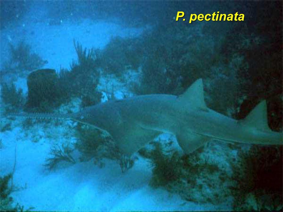 P. pectinata