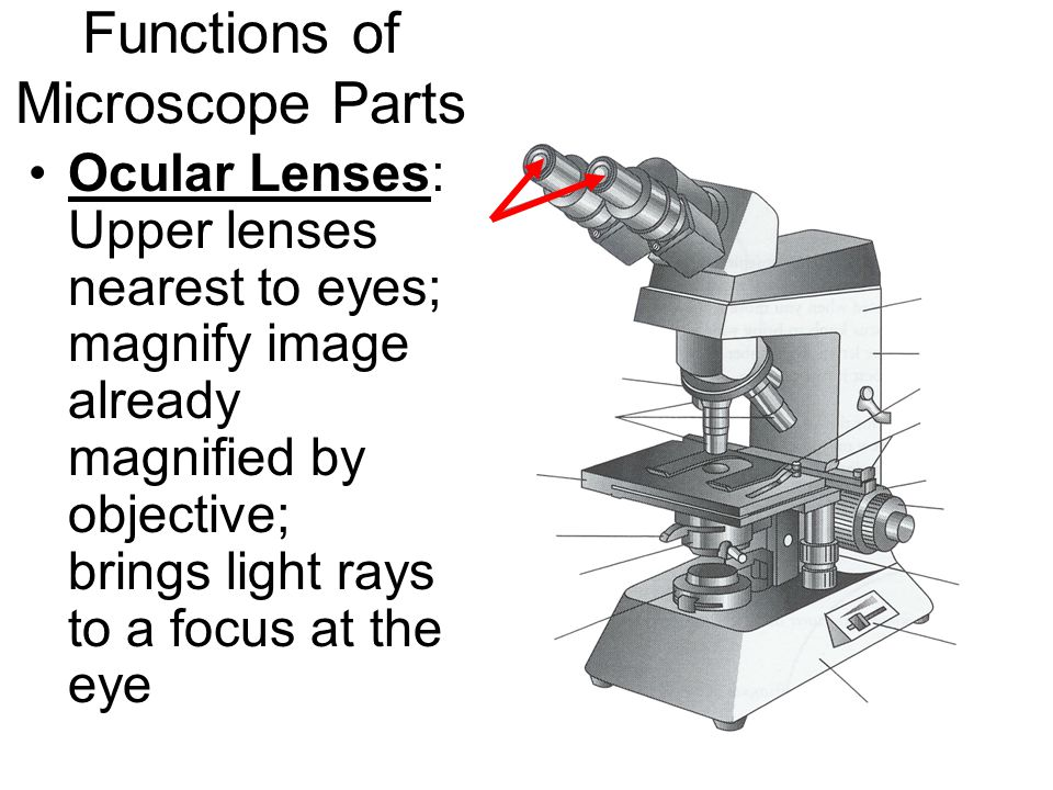 Functions of Microscope Parts Ocular Lenses: Upper lenses nearest to eyes; magnify image already magnified by objective; brings light rays to a focus at the eye
