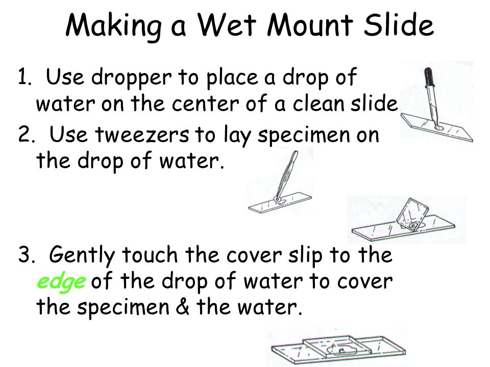 Making a Wet Mount Slide 1. Use dropper to place a drop of water on the center of a clean slide. 2. Use tweezers to lay specimen on the drop of water.