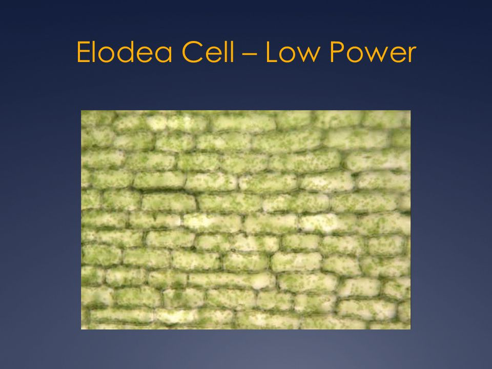 Elodea Cell – Low Power