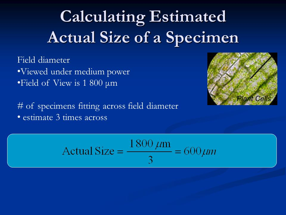 Calculating Estimated Actual Size of a Specimen Field diameter Viewed under medium power Field of View is 1 800 μm # of specimens fitting across field diameter estimate 3 times across