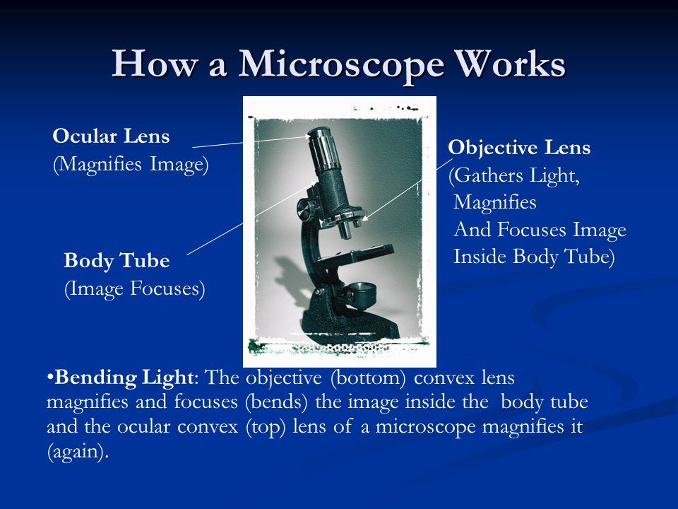 How a Microscope Works Ocular Lens (Magnifies Image) Objective Lens (Gathers Light, Magnifies And Focuses Image Inside Body Tube) Body Tube (Image Focuses) Bending Light: The objective (bottom) convex lens magnifies and focuses (bends) the image inside the body tube and the ocular convex (top) lens of a microscope magnifies it (again).
