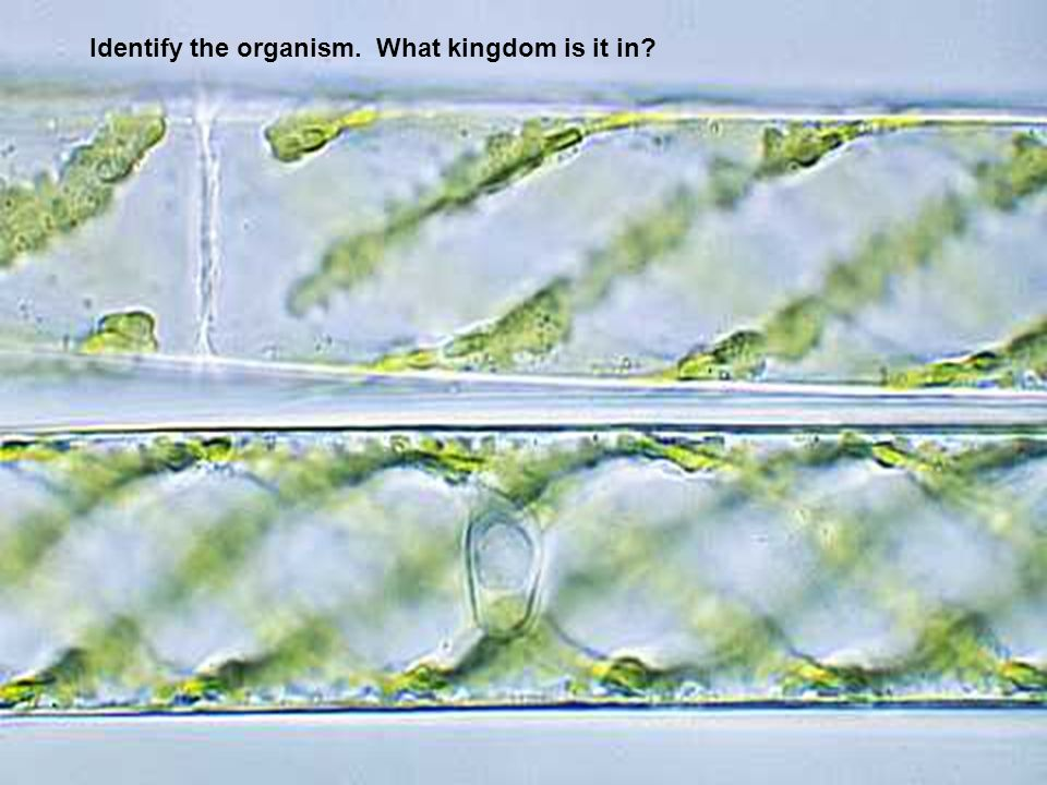 Identify the organism. What kingdom is it in