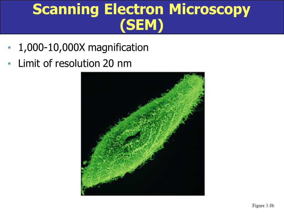 1,000-10,000X magnification Limit of resolution 20 nm Scanning Electron Microscopy (SEM) Figure 3.8b