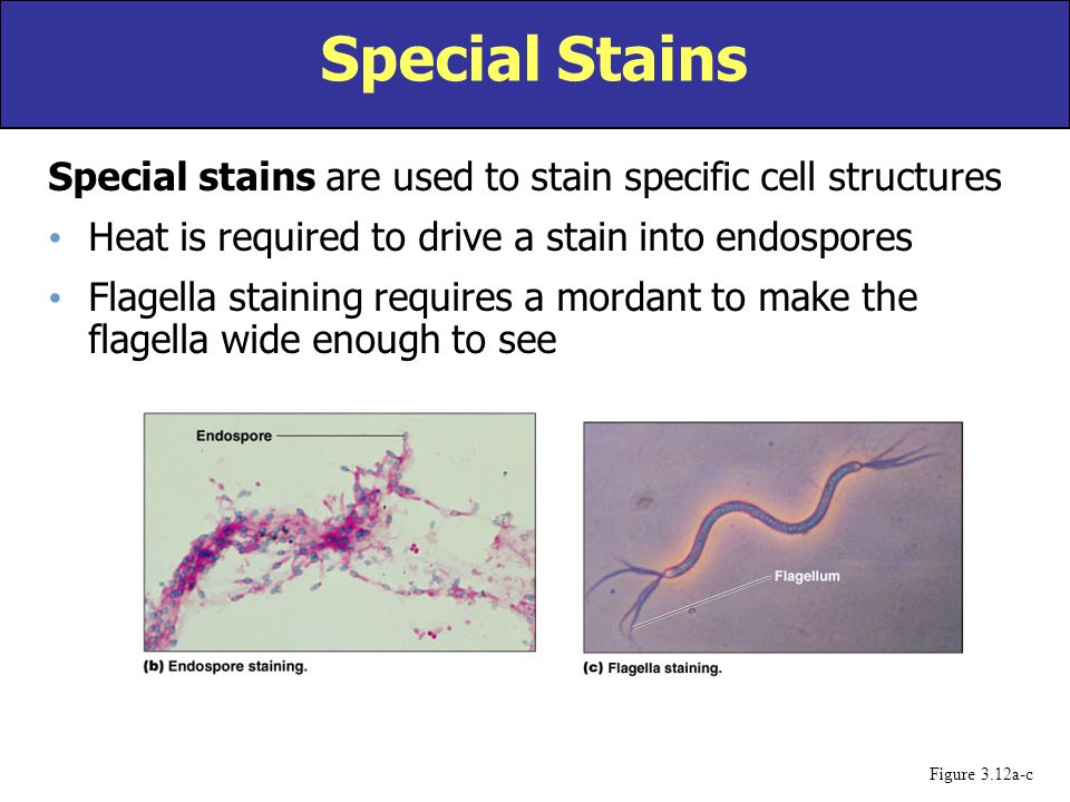 Special stains are used to stain specific cell structures Heat is required to drive a stain into endospores Flagella staining requires a mordant to ma