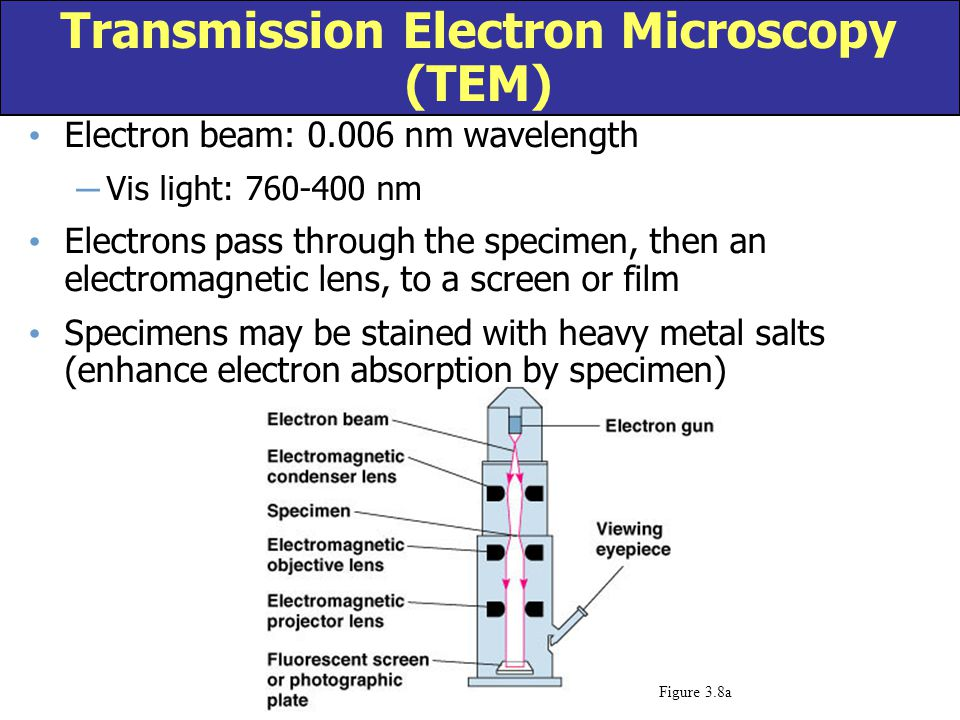 Electron beam: 0.006 nm wavelength ─ Vis light: 760-400 nm Electrons pass through the specimen, then an electromagnetic lens, to a screen or film Spec