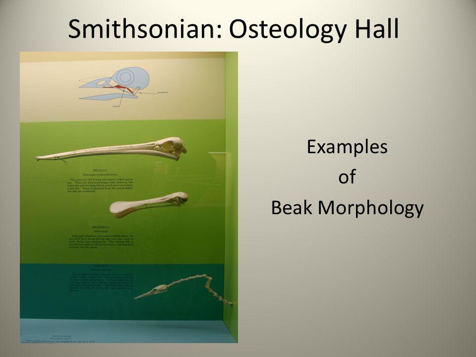 Examples of Beak Morphology Smithsonian: Osteology Hall