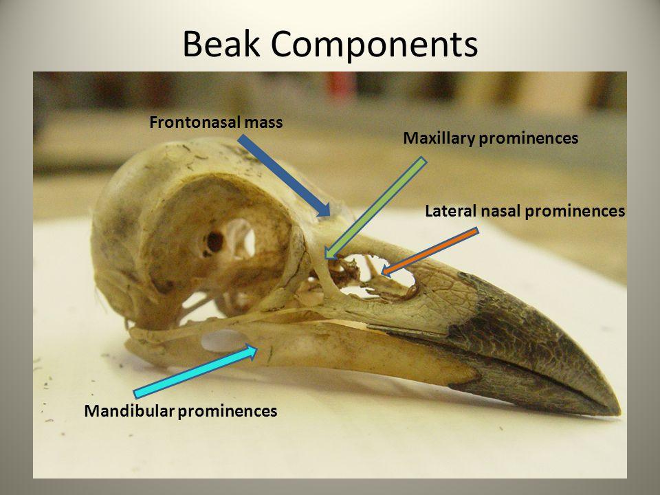 Beak Components Frontonasal mass Maxillary prominences Lateral nasal prominences Mandibular prominences