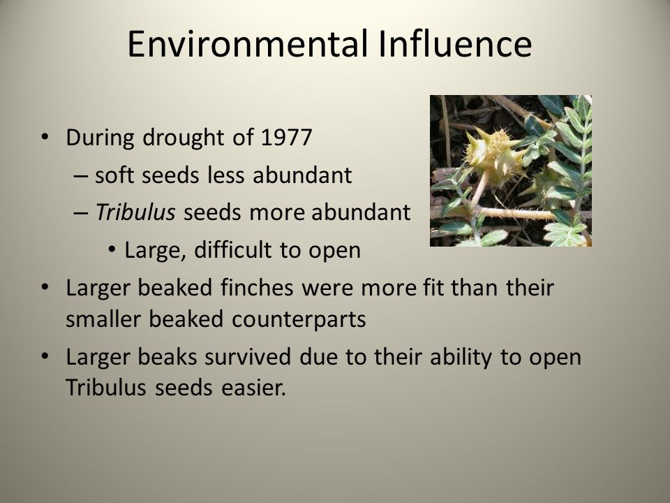 During drought of 1977 – soft seeds less abundant – Tribulus seeds more abundant Large, difficult to open Larger beaked finches were more fit than their smaller beaked counterparts Larger beaks survived due to their ability to open Tribulus seeds easier.