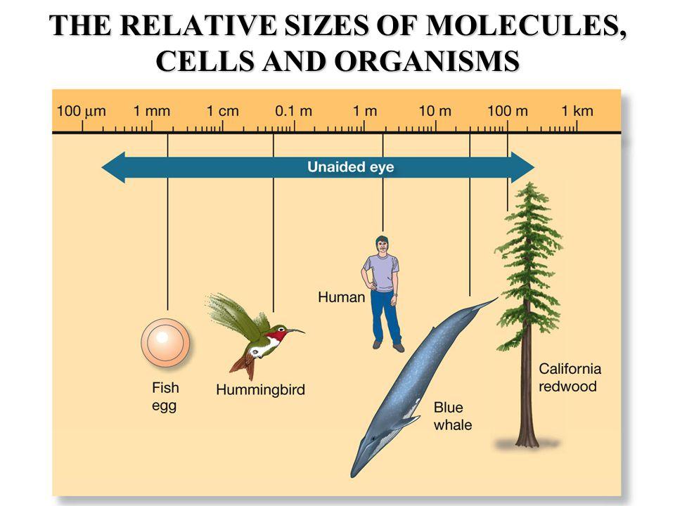 Fertilization: Sperm aster, male and female pronuclei MT, DNA, CS