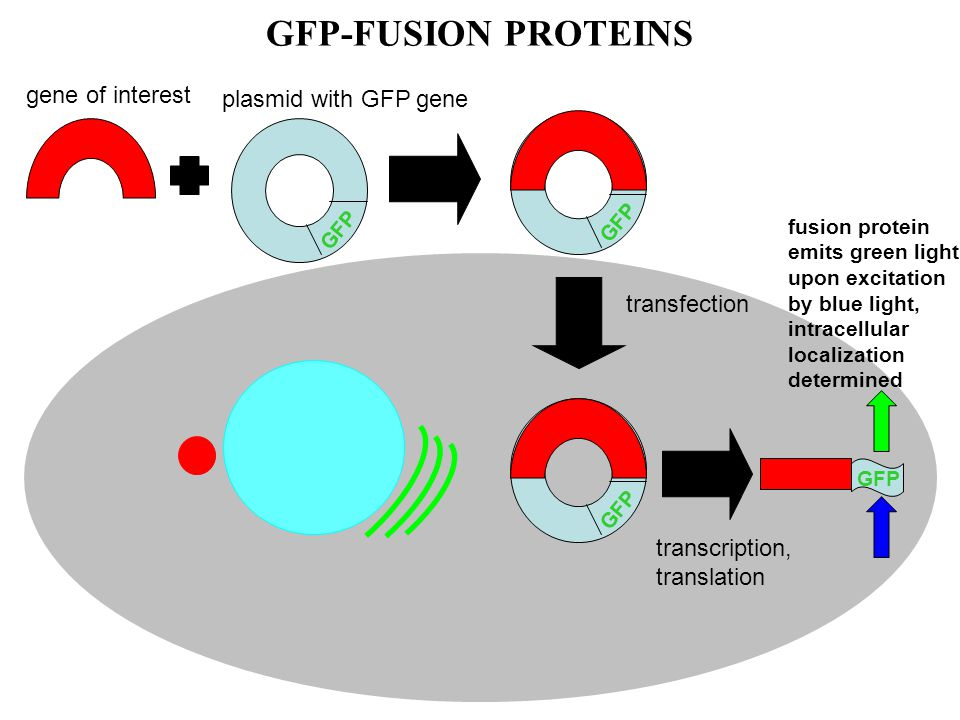 GFP-FUSION PROTEINS GFP gene of interest plasmid with GFP gene GFP fusion protein emits green light upon excitation by blue light, intracellular localization determined transcription, translation transfection