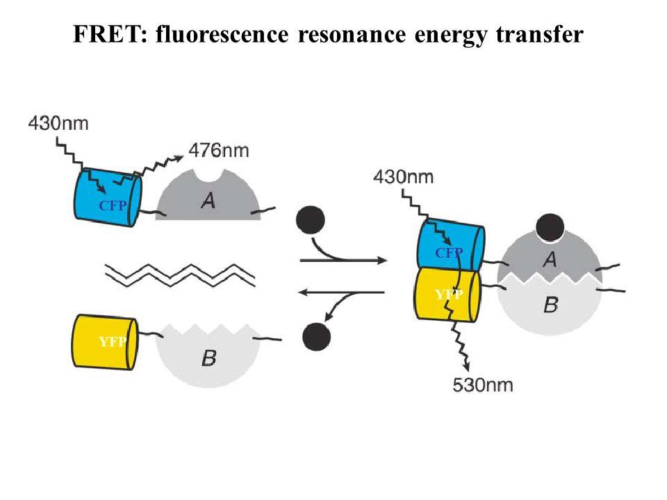 FRET: fluorescence resonance energy transfer CFP YFP