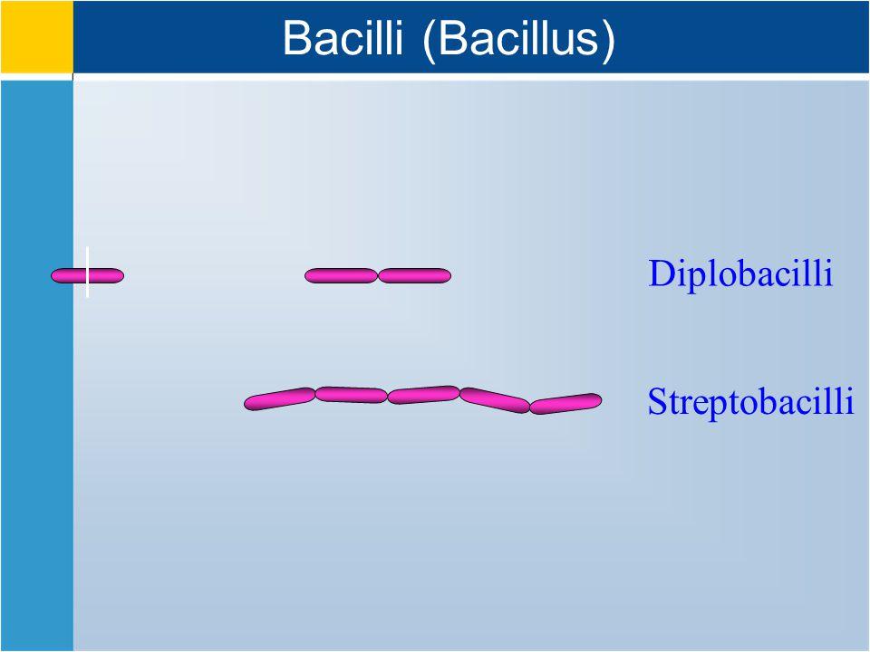 Bacilli (Bacillus) Diplobacilli Streptobacilli