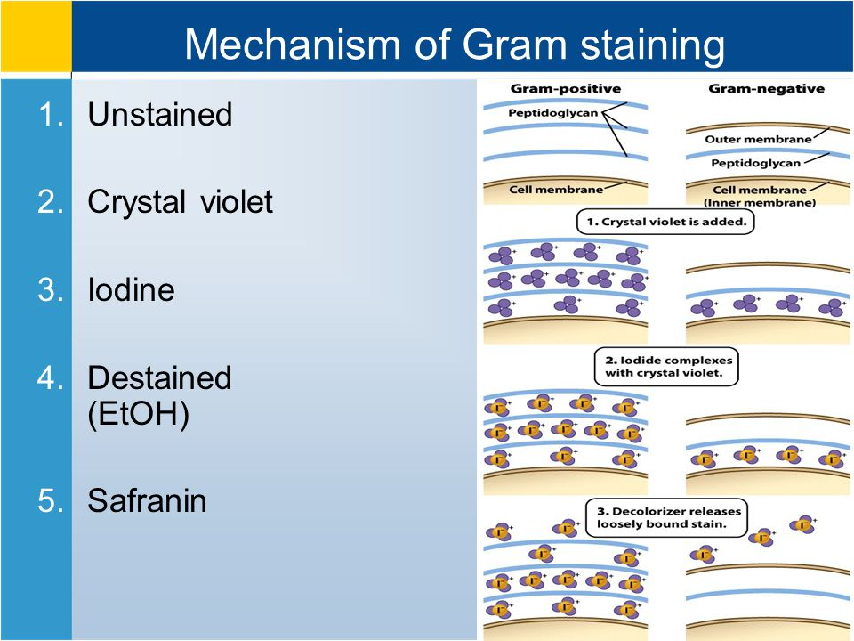 Mechanism of Gram staining 1.Unstained 2.Crystal violet 3.Iodine 4.Destained (EtOH) 5.Safranin