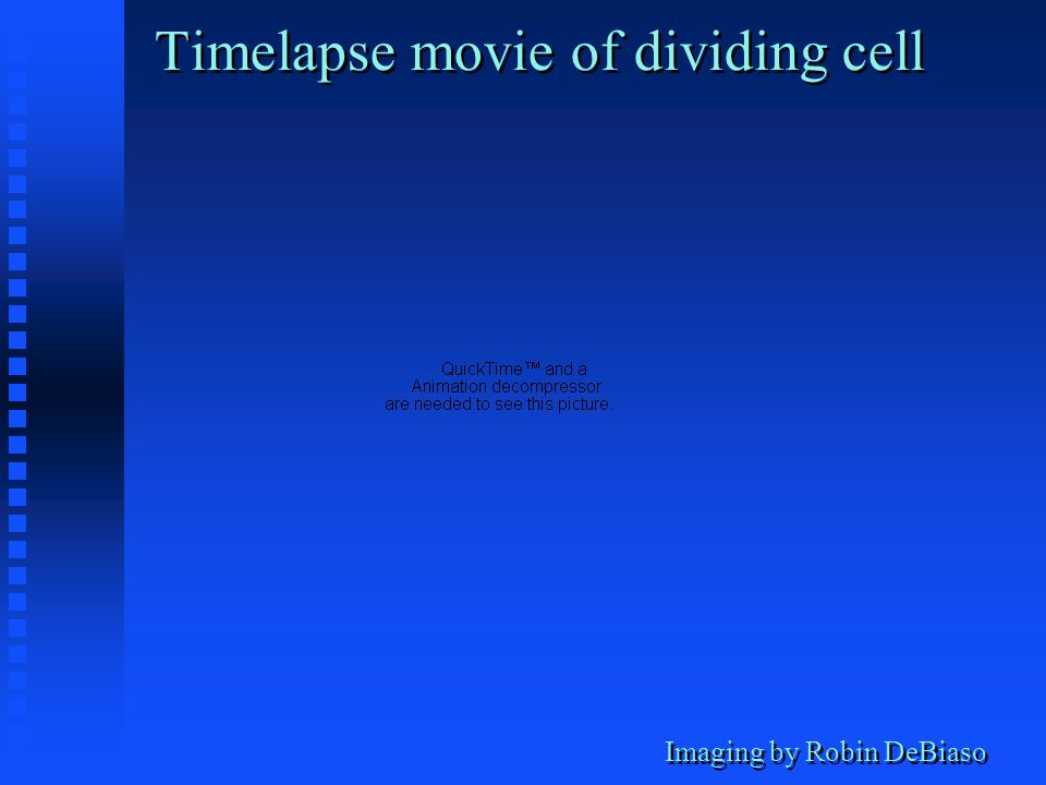 Imaging by Robin DeBiaso Timelapse movie of dividing cell