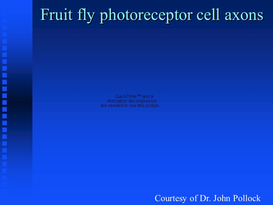 Fruit fly photoreceptor cell axons Courtesy of Dr. John Pollock