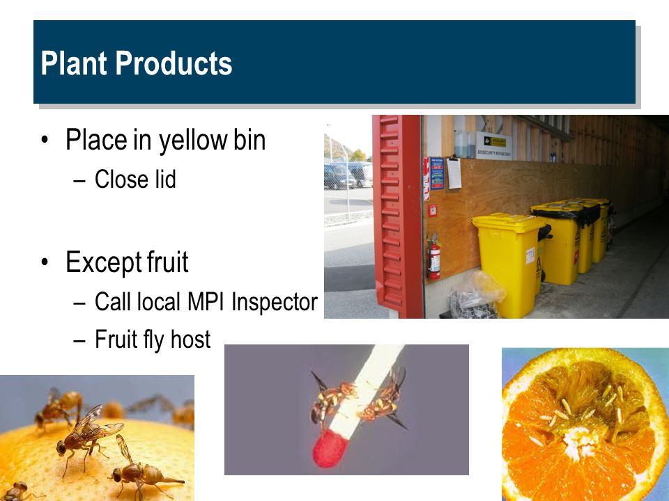 Plant Products Place in yellow bin –Close lid Except fruit –Call local MPI Inspector –Fruit fly host