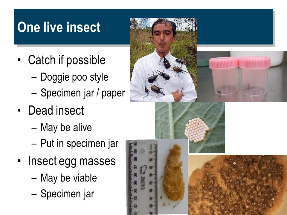 One live insect Catch if possible –Doggie poo style –Specimen jar / paper Dead insect –May be alive –Put in specimen jar Insect egg masses –May be viable –Specimen jar