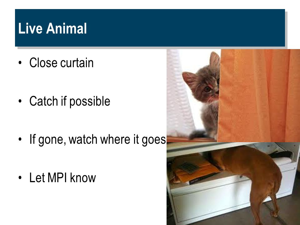 Live Animal Close curtain Catch if possible If gone, watch where it goes Let MPI know