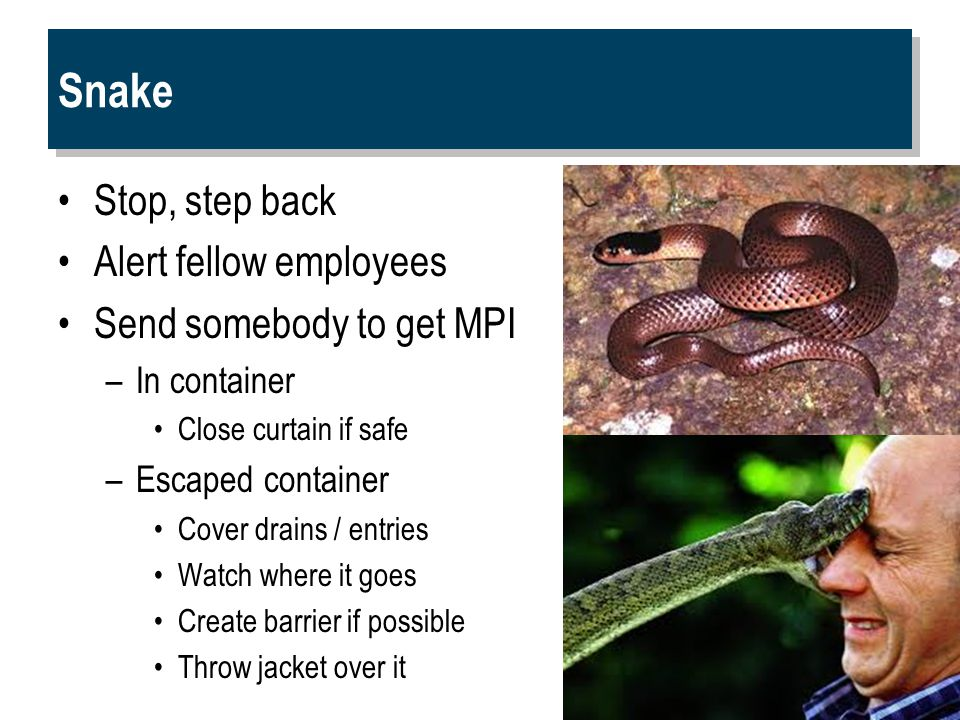 Snake Stop, step back Alert fellow employees Send somebody to get MPI –In container Close curtain if safe –Escaped container Cover drains / entries Watch where it goes Create barrier if possible Throw jacket over it