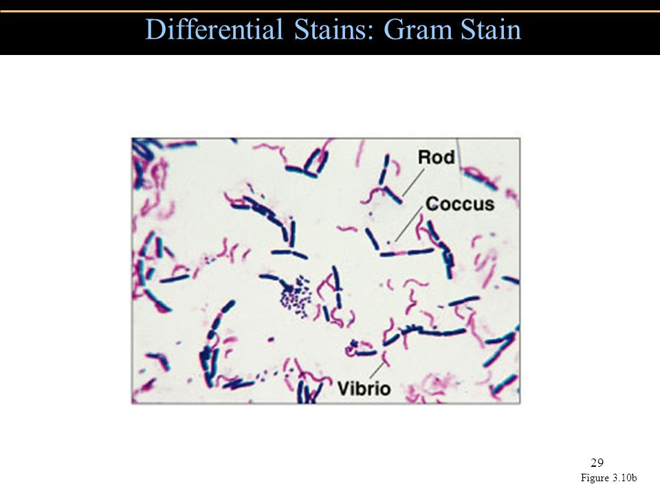 Copyright © 2004 Pearson Education, Inc., publishing as Benjamin Cummings 29 Differential Stains: Gram Stain Figure 3.10b