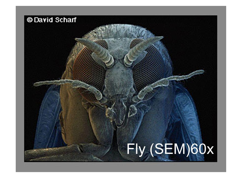 Fly (SEM)60x