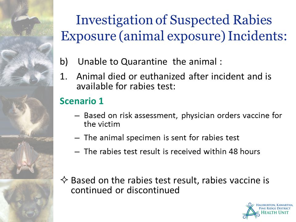 Investigation of Suspected Rabies Exposure (animal exposure) Incidents: b) Unable to Quarantine the animal : 1.Animal died or euthanized after incident and is available for rabies test: Scenario 1 – Based on risk assessment, physician orders vaccine for the victim – The animal specimen is sent for rabies test – The rabies test result is received within 48 hours  Based on the rabies test result, rabies vaccine is continued or discontinued
