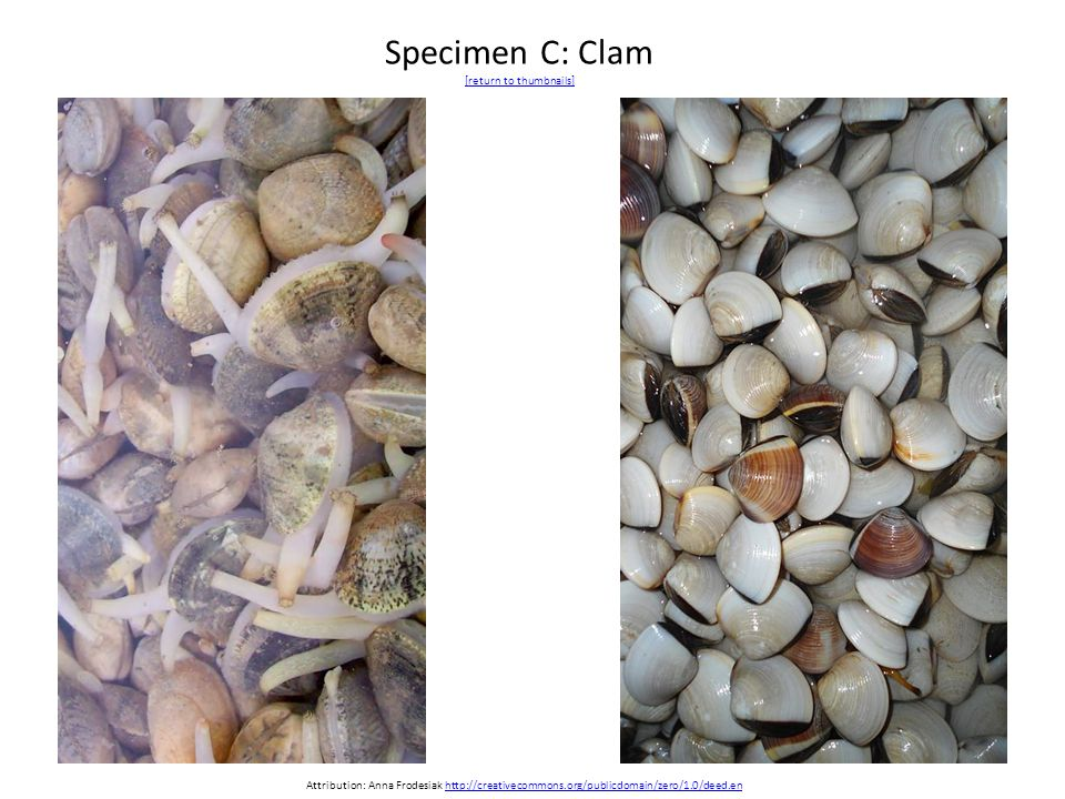 Specimen C: Clam [return to thumbnails] [return to thumbnails] Attribution: Anna Frodesiak http://creativecommons.org/publicdomain/zero/1.0/deed.enhttp://creativecommons.org/publicdomain/zero/1.0/deed.en