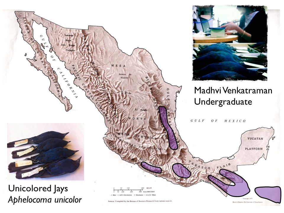 Madhvi Venkatraman Undergraduate Unicolored Jays Aphelocoma unicolor