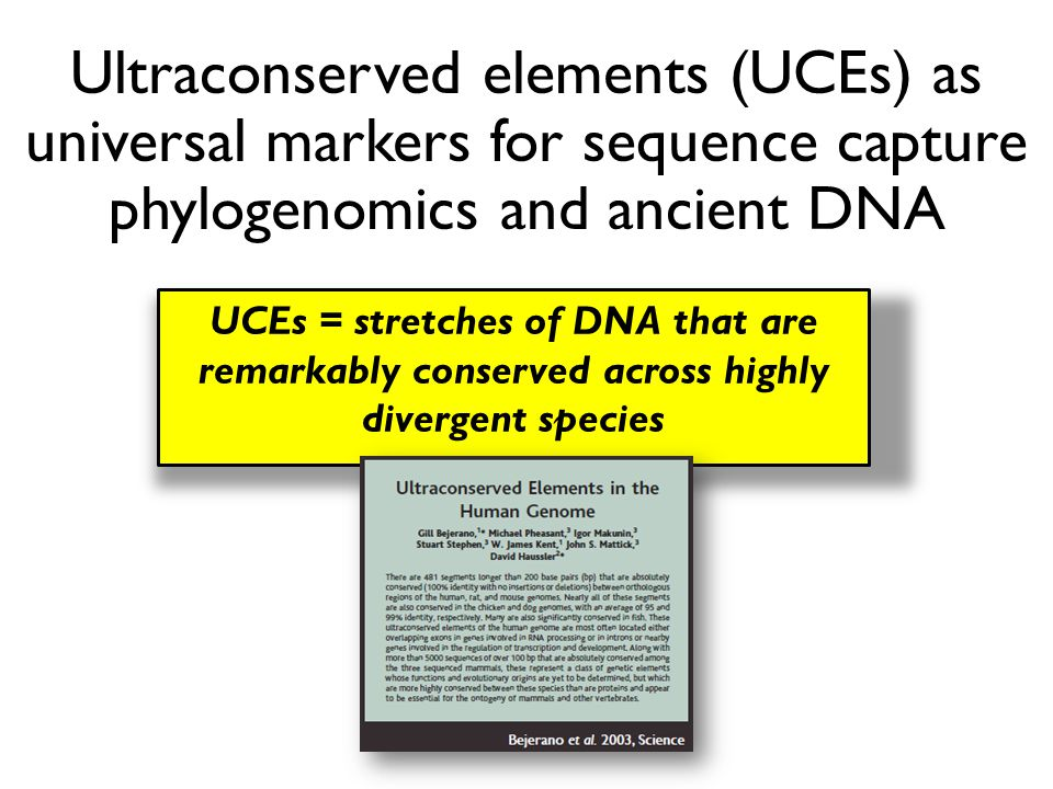 Ultraconserved elements (UCEs) as universal markers for sequence capture phylogenomics and ancient DNA UCEs = stretches of DNA that are remarkably con