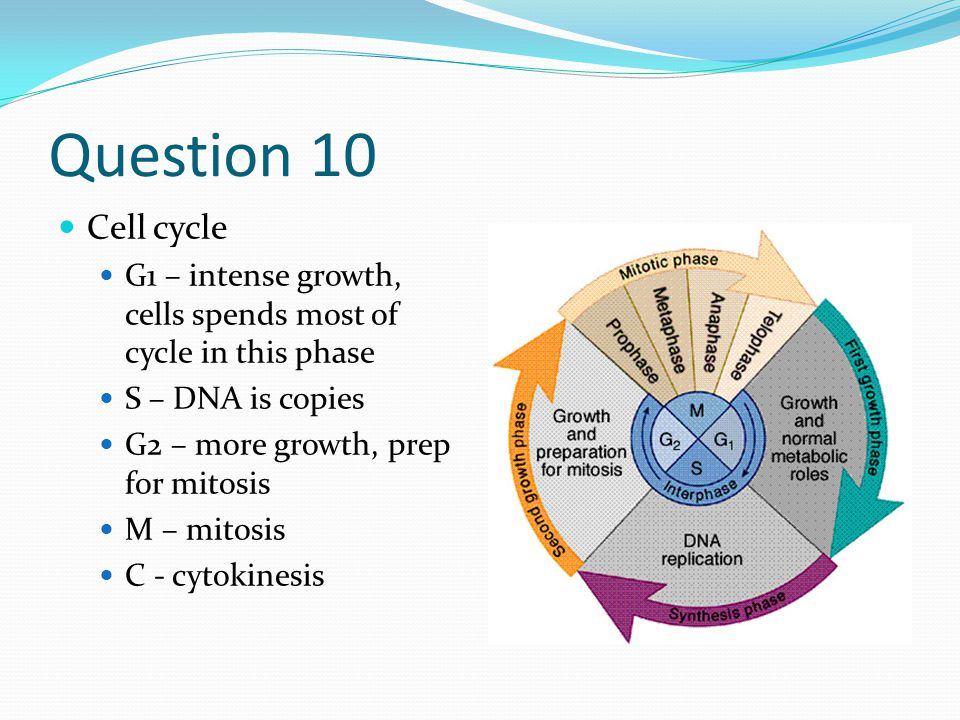 Question 10 Cell cycle G1 – intense growth, cells spends most of cycle in this phase S – DNA is copies G2 – more growth, prep for mitosis M – mitosis