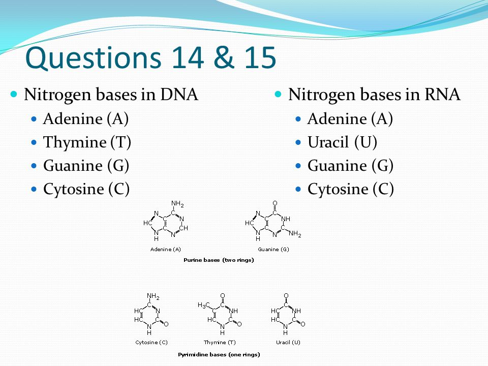 Questions 14 & 15 Nitrogen bases in DNA Adenine (A) Thymine (T) Guanine (G) Cytosine (C) Nitrogen bases in RNA Adenine (A) Uracil (U) Guanine (G) Cytosine (C)