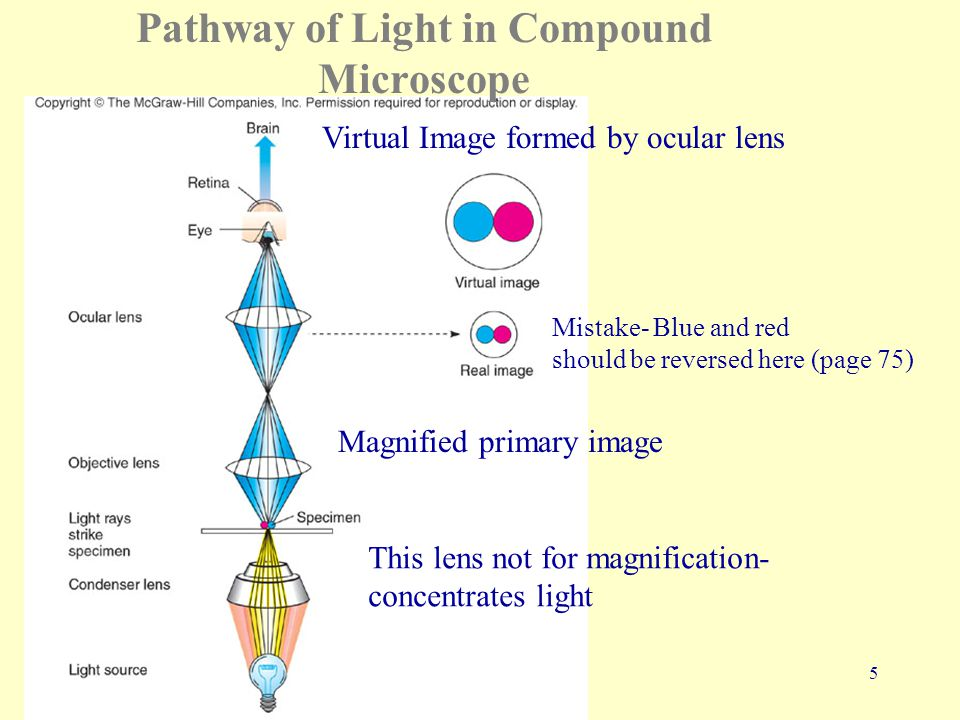 5 Pathway of Light in Compound Microscope Magnified primary image Virtual Image formed by ocular lens This lens not for magnification- concentrates light Mistake- Blue and red should be reversed here (page 75)