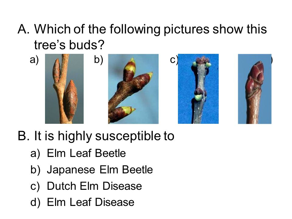 A.Which of the following pictures show this tree's buds? B.It is highly susceptible to a)Elm Leaf Beetle b)Japanese Elm Beetle c)Dutch Elm Disease d)E