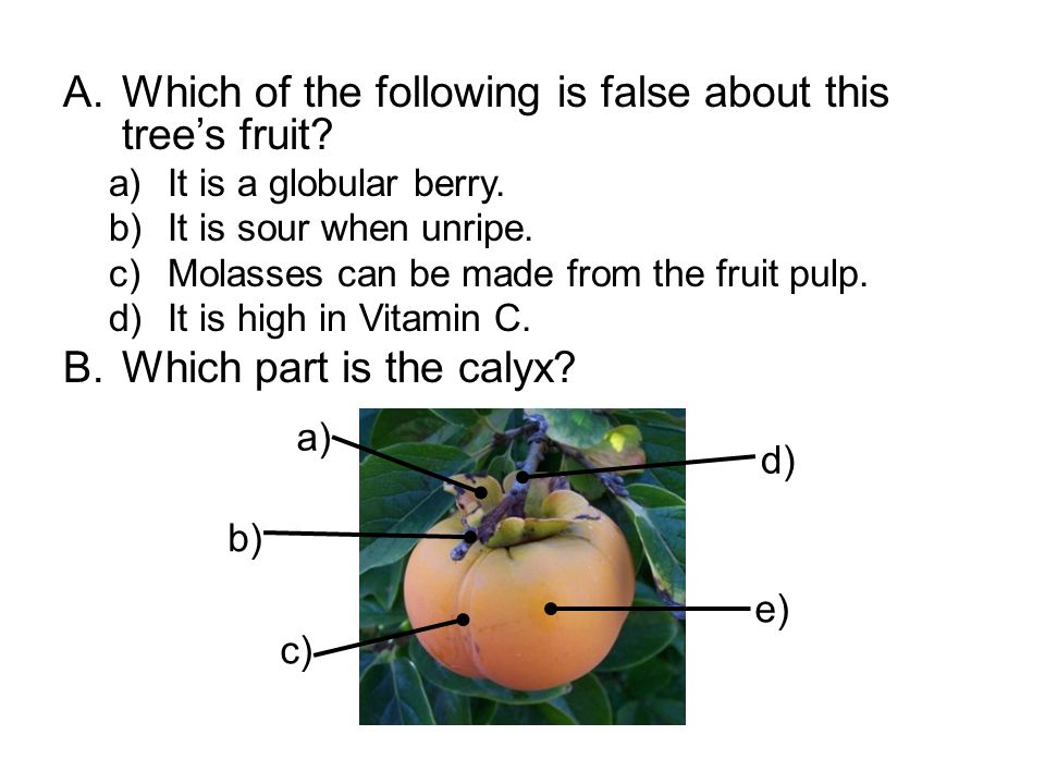 A.Which of the following is false about this tree's fruit? a)It is a globular berry. b)It is sour when unripe. c)Molasses can be made from the fruit p