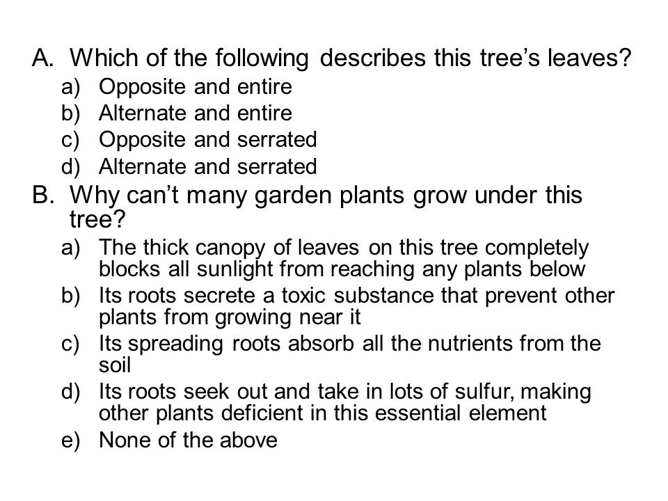 A.Which of the following describes this tree's leaves.
