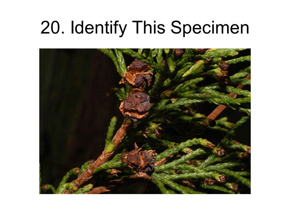 20. Identify This Specimen