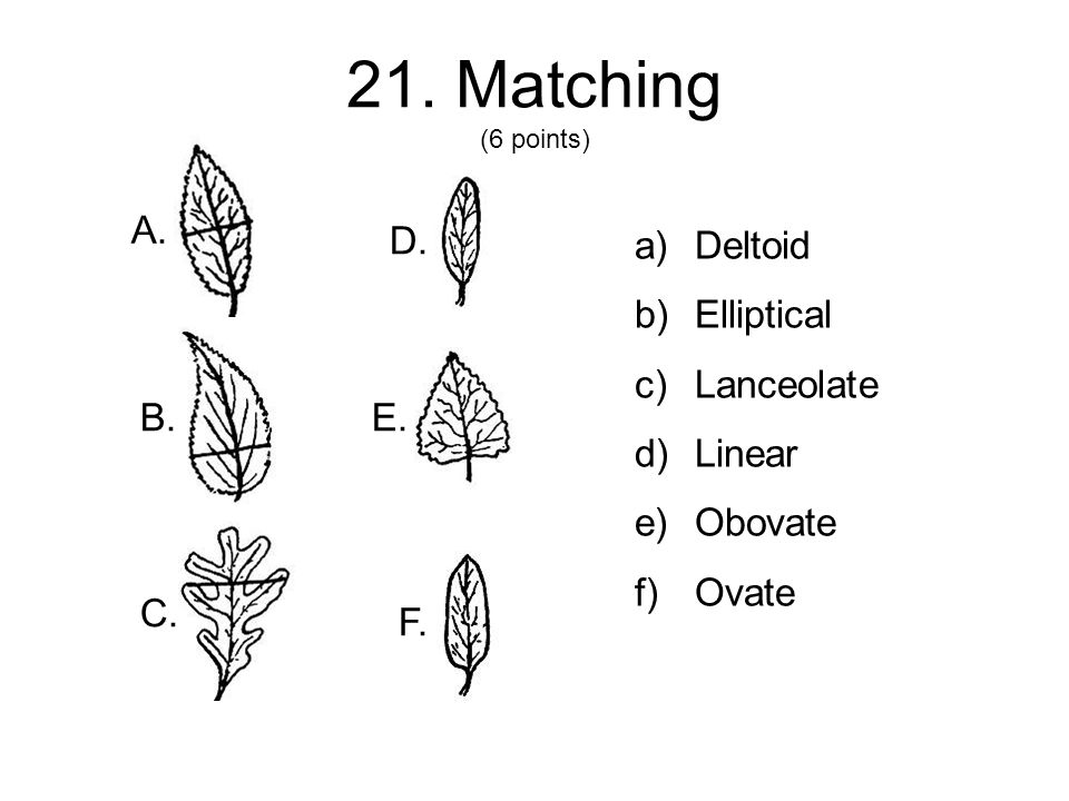 21. Matching (6 points) a)Deltoid b)Elliptical c)Lanceolate d)Linear e)Obovate f)Ovate A.