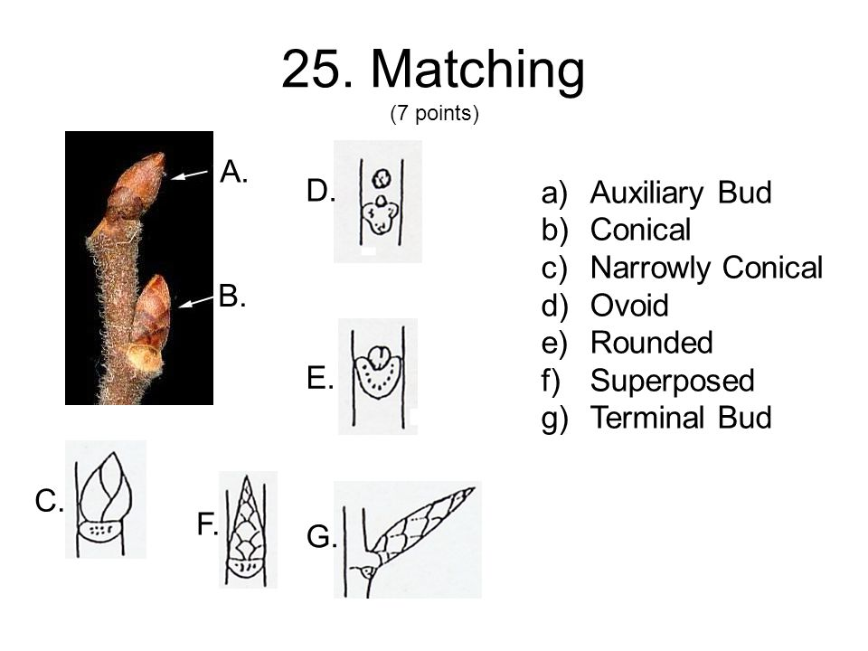 25. Matching (7 points) C. a)Auxiliary Bud b)Conical c)Narrowly Conical d)Ovoid e)Rounded f)Superposed g)Terminal Bud A. B. D. E. F. G.